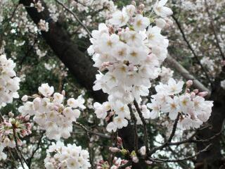 20100328_sakura2