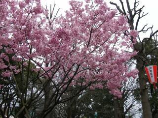 20100328_sakura3